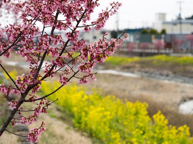 菜の花とオカメ桜6