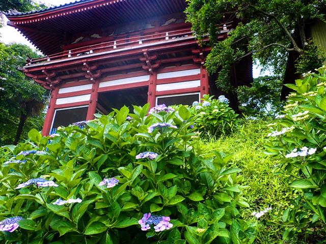 矢名薬師(東光寺)の紫陽花