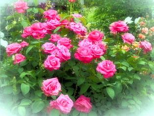 薔薇の小道8