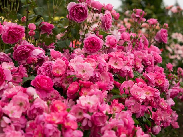 薔薇の小道10
