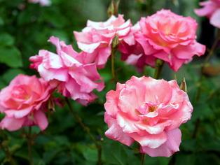 薔薇の小道6