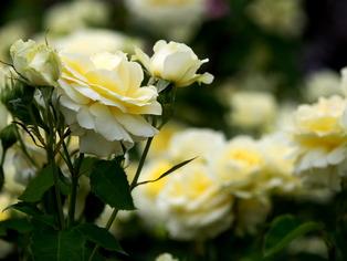 薔薇の小道1