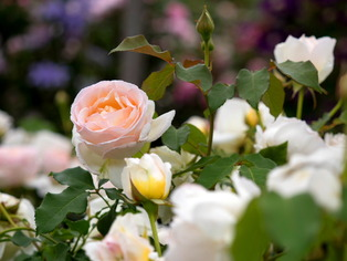 薔薇の小道3