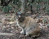 城ヶ島の猫(1)
