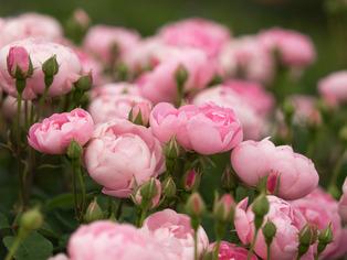薔薇の小道5