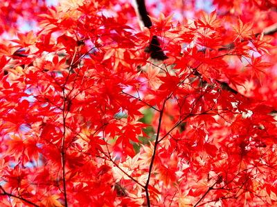 紅葉黄葉10