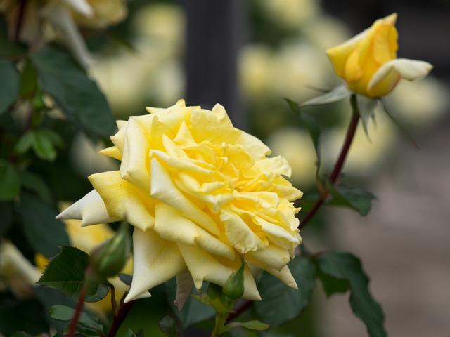 薔薇の小道9