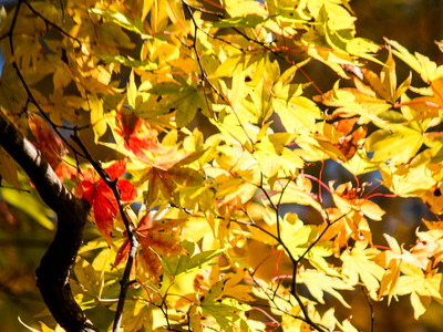 紅葉黄葉5