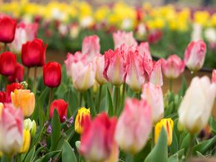 tulip13