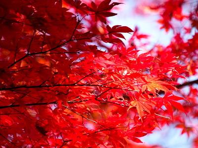 紅葉黄葉8