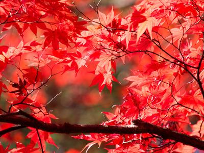 紅葉黄葉2