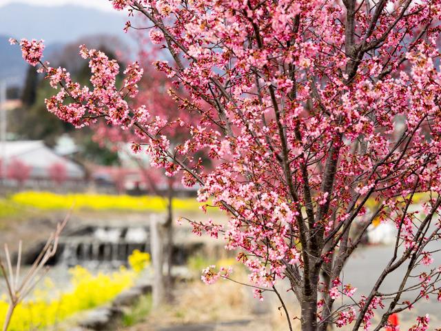 菜の花とオカメ桜8
