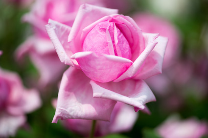 Rose15
