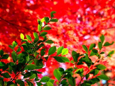 紅葉黄葉11