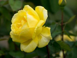 薔薇の小道4