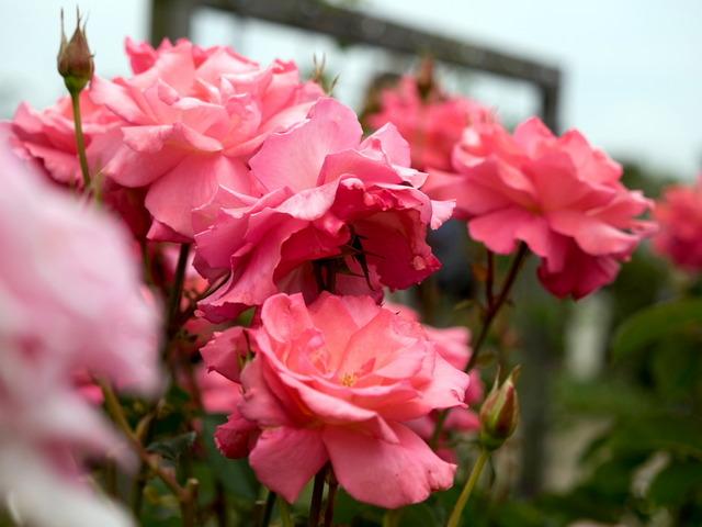 薔薇の小道13