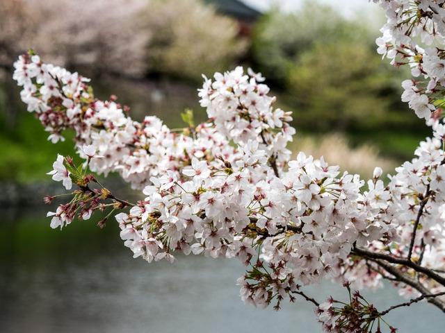 今泉名水桜公園3