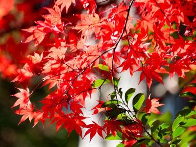 紅葉黄葉7
