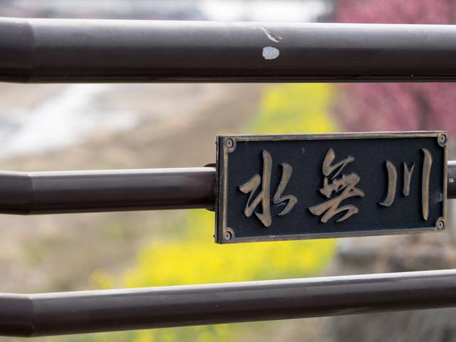 菜の花とオカメ桜3