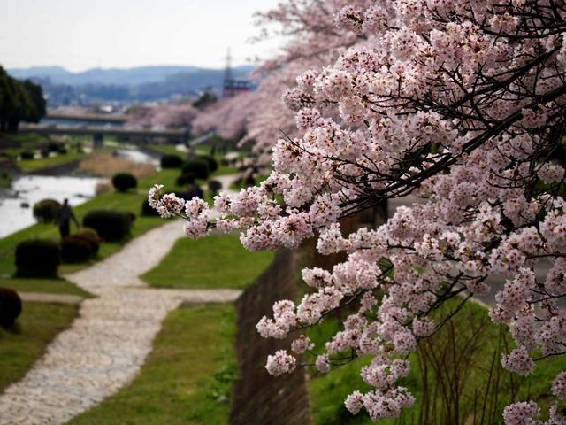 絶景・水無川の桜道