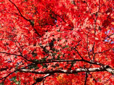 紅葉黄葉12