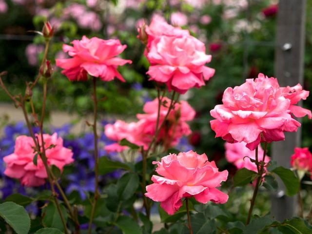 薔薇の小道14