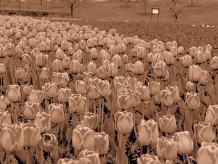 tulip10
