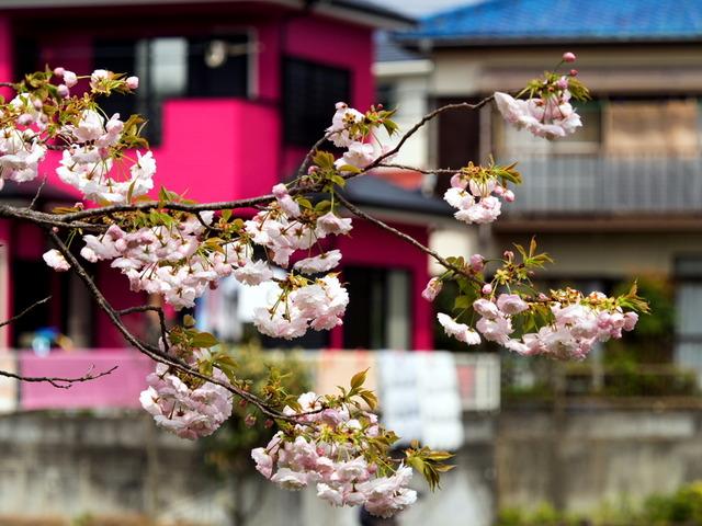 今泉名水桜公園1