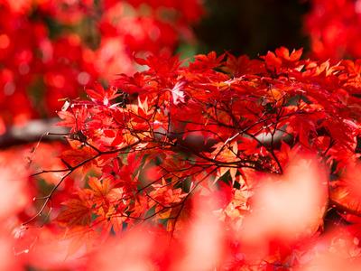 紅葉黄葉6