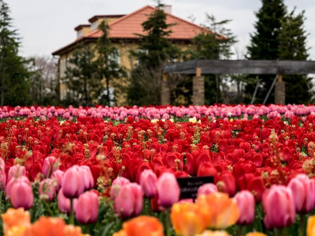 tulip18