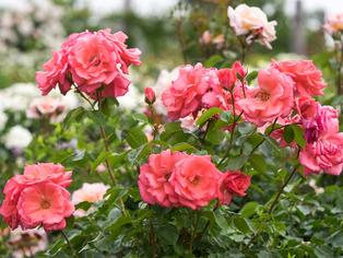 薔薇の小道12