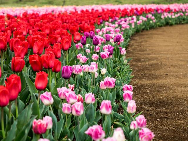 tulip8