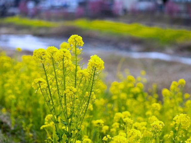 菜の花とオカメ桜9