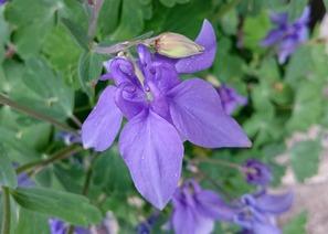 オダマキの花を上から見たところ