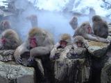 温泉にウットリ浸かるスノーモンキーたち