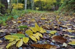 遊歩道の落ち葉は黄色がきれい