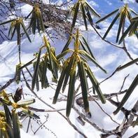 葉っぱをすぼめて冬を越すシャクナゲ