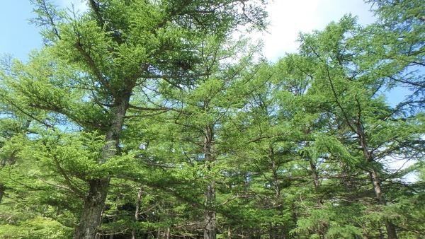 枝ぶりが立派だった天然カラマツ