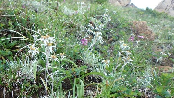 群落で咲くホソバヒナウスユウキソウ(キク科)