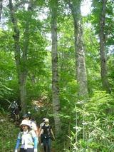 燧裏林道のブナ林を歩く