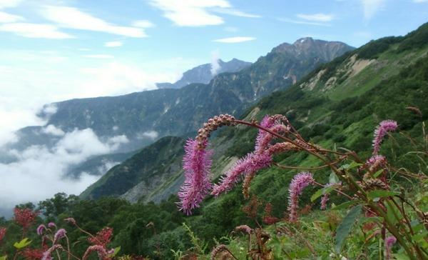 カライトソウと五竜岳(右上)&鹿島槍ヶ岳(中央)
