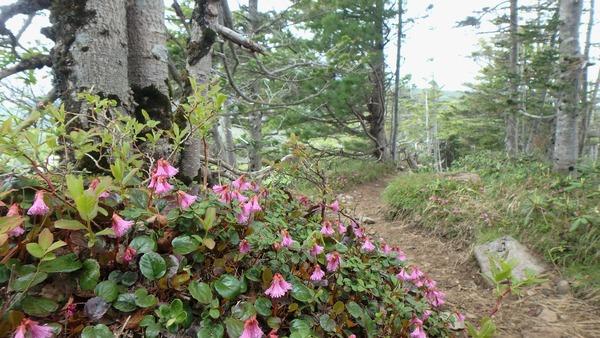 イワカガミ咲く中山峠付近の登山道