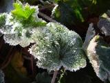 葉っぱに霜柱