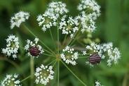ドクゼリの花とアカスジカメムシ
