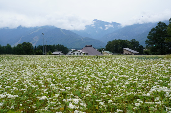 蕎麦の花が満開です