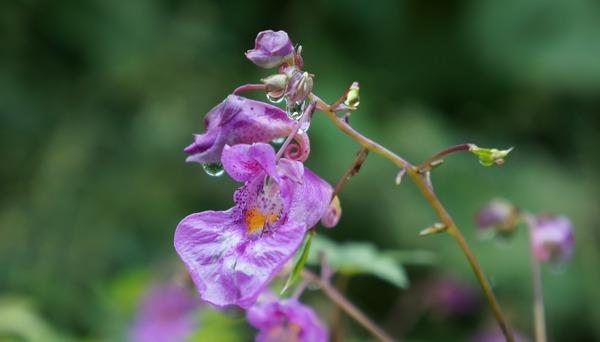 ツリフネソウの花と蕾