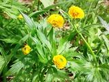 八重咲きのミヤマキンポウゲ?