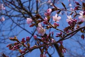 桜は七分咲き