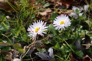 咲き残っていた小菊