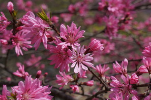 八重桜の一種